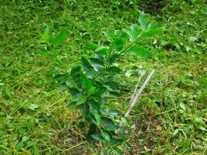 ライムの木