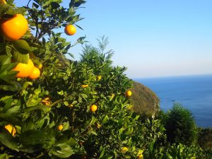 柑橘に与える西陽の効果