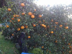 清見タンゴールの収穫作業