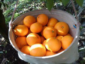 サンフルーツの収穫
