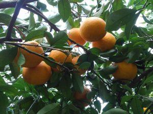 木の上のサンフルーツ