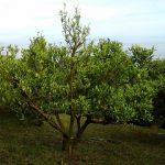 35年を過ぎたポンカンの木の植え替えを始めました。