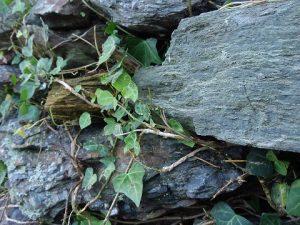 石垣の雑草2