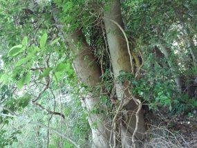 雑木の巻枯らし1