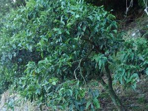 雑木の影響受けた木