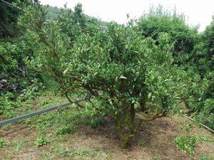 太田ポンカンの木の様子