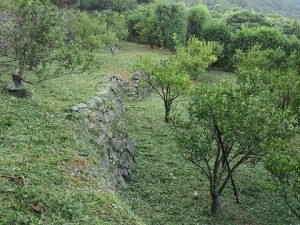 接木のポンカン園