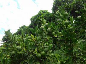 天草の摘果作業1