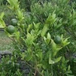 改植の際に考慮する苗木と高接木についての比較!