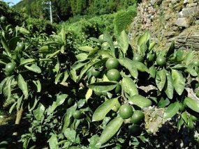 温州みかんの摘果1