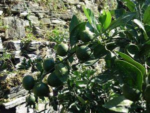 温州みかんの摘果2