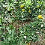 収穫間近の温州みかんがハクビシンの食害に!