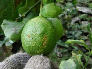柑橘カイヨウ病
