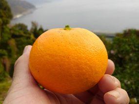 清見タンゴールの果実