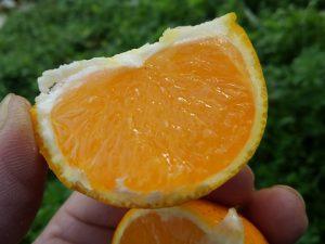 清見タンゴールの果肉