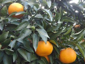 木生りサンフルーツ