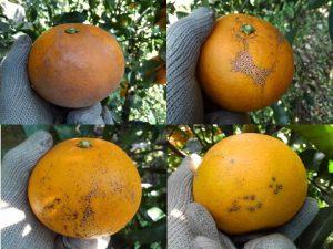 柑橘の病害虫