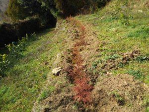 防風垣の植え付け