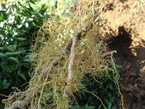 根を整える