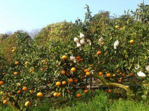 清見タンゴールの収穫