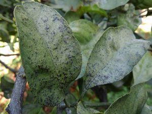 葉の黒点病