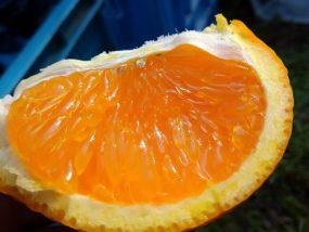 清見タンゴールの実食