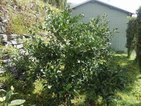 温州みかんの木
