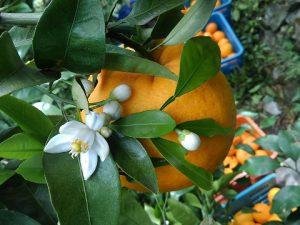 サンフルーツの花と果実