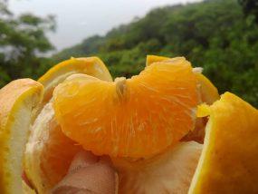 サンフルーツの果肉