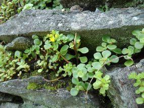石垣の雑草1