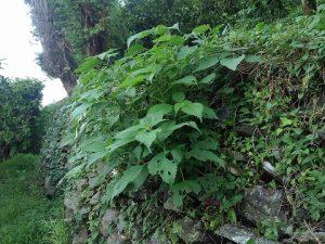石垣の雑草3