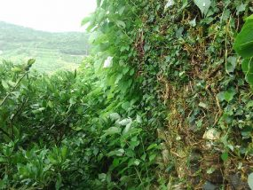 石垣の除草作業