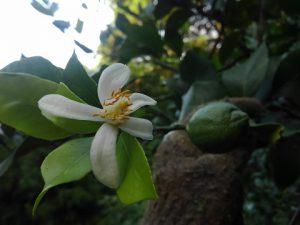 レモンの花と実