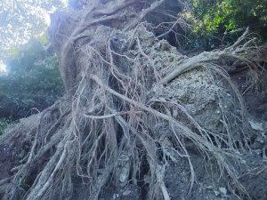 根こそぎ崩れ落ちた大木