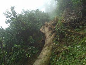 倒れた大木