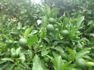 柑橘カイヨウ病の発生1