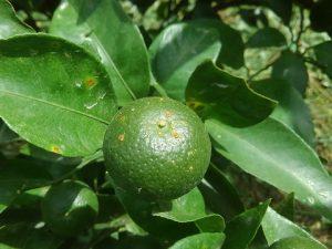柑橘カイヨウ病発生2