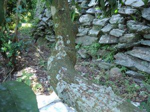 幹に発生した苔