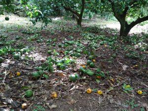 天生り果の摘果後