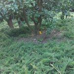 杉の堆肥化について…。