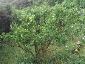 ポンカンの木
