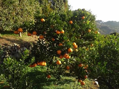 伊予柑の木