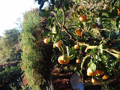 朝日を浴びた果実