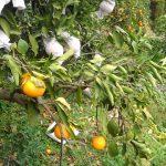 清見タンゴールの木が枯れるのは腐朽菌の侵入かも!?