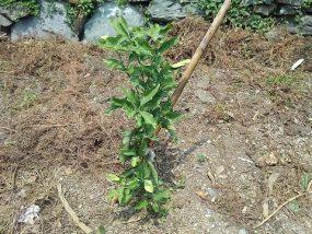 清見タンゴールの苗木