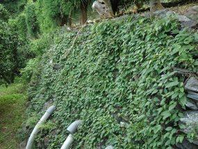 石垣のカズラ