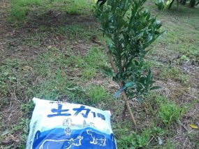 牛糞たい肥とポンカンの苗木