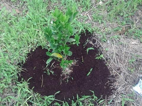 牛糞たい肥の施用