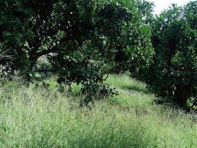 夏の雑草のハタカリ