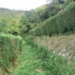 堆肥化に5・6年かかる杉葉の利用価値は雑草対策と土壌乾燥防止!